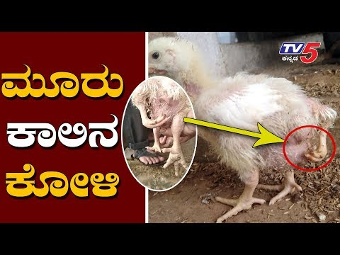3 Legs Baby Chick | Hen | Dharwad | TV5 Kannada