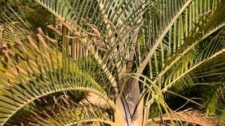 PALMERA TRIANGULAR: Dypsis decaryi (www.riomoros.com)