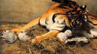 六福村《小白虎成長日記》-老虎媽媽幫小寶貝們築巢囉!