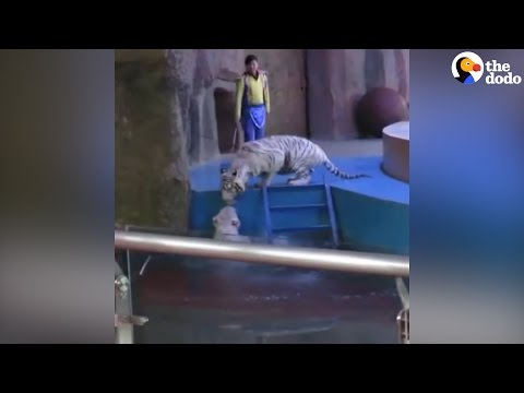 Circus Tigers Rush To Help Their Friend Who Fell