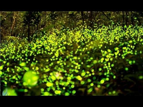 Шоу светлячков. Уникальные кадры! Куала-Селангор, Малайзия, недалеко от Куала-Лумпур.