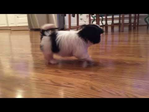 This beauty is Sandy! She is a lovely female Imperial Shih Tzu puppy