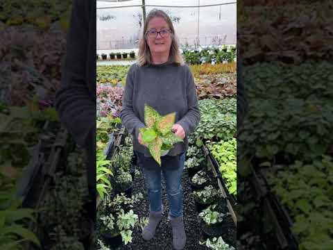 Aglaonema Wishes Chinese Evergreen