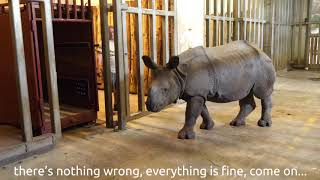 Behind the schenes video - The first Hungarian born Indian Rhinoceros has left Sóstó Zoo.
