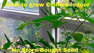 How to grow Chillies Indoor | Grow Chili Pepper Indoor | No Store Bought Seed | Spice Kitchen