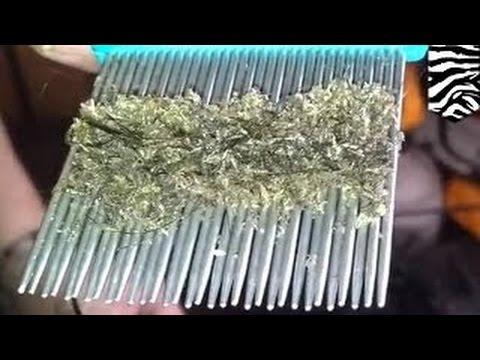 Лечение глиста бычий цепень