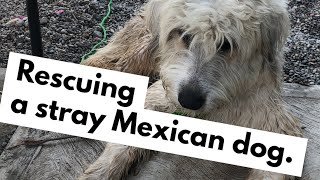 Rescuing a Stray Dog From Mexico