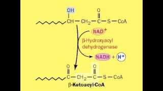 Fatty Acids - Beta Oxidation