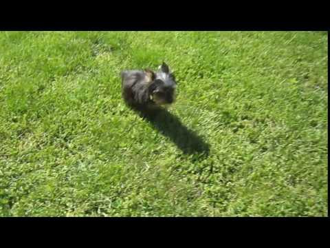 Tiny Teacup Yorkie Boy puppy