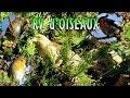 Oiseaux des Hauts de Seine - chants de l'Accenteur et du Bouvreuil
