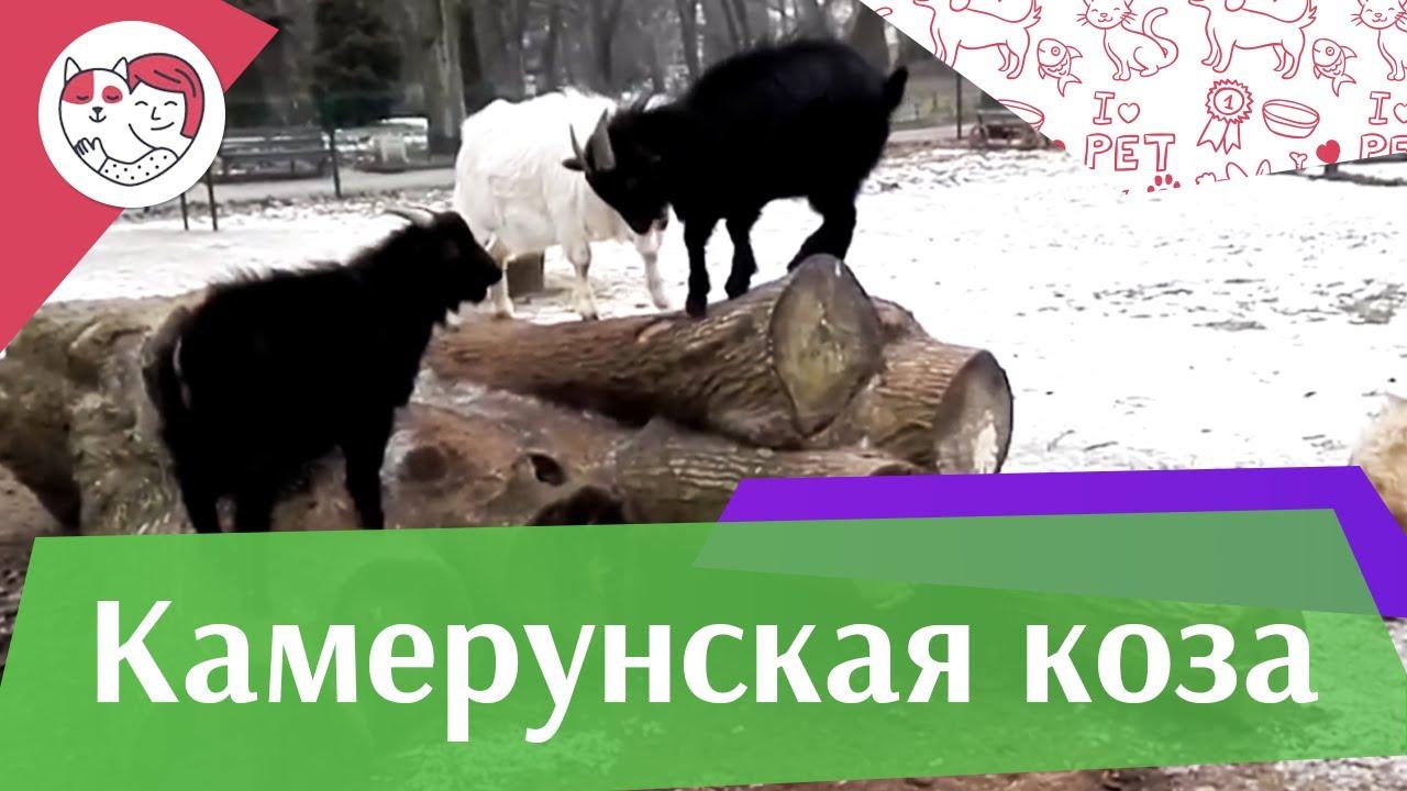Камерунская  коза  Содержание  и  уход на ilikepet