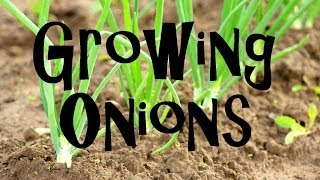 How to grow Onions in your Backyard