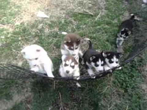 All the puppies at play.