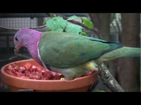 , title : 'pink headed fruit dove
