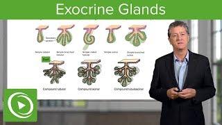 Exocrine Glands – Histology | Lecturio