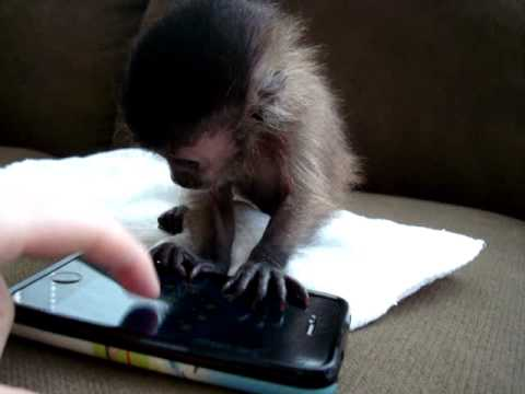 Baby Monkey Playing With An iPhone Makes Cute Video