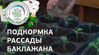 Выращиваем баклажаны. Как и чем подкормить баклажаны.