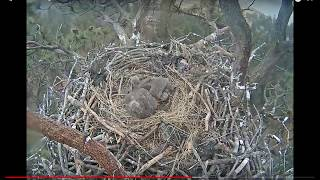 BIG BEAR EAGLE CAM - DAD BRINGS IN LIVE CATFISH - FISH JUMPS OUT OF THE NEST