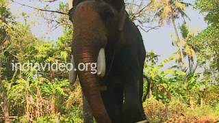 Guruvayoor Padmanabhan, Elephant of Guruvayoor Devaswom