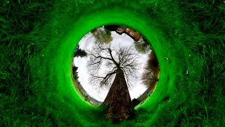 Какие самые старые деревья на планете? Деревья долгожители - Топ 5 - Самые старые деревья в мире