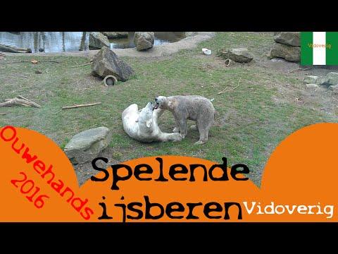 Ouwehands: Spelende ijsberen (akiak, sura)