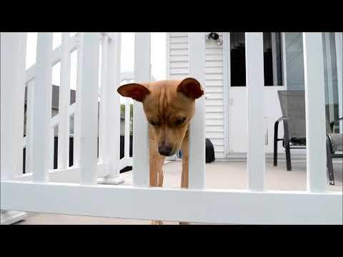 Nacho, an adopted Chihuahua Mix in Anjou, QC