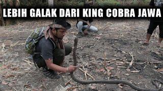 ADU NYALI KE KING COBRA SULAWESI !