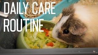 Guinea Pig Daily Care Routine