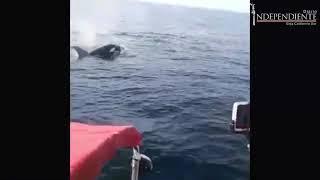 Pescadores en playas de La Paz se encuentran  un grupo de orcas