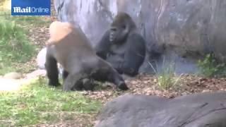 მოხერხებული მაიმუნი