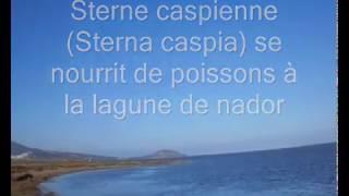 preview picture of video 'Sterne caspienne (Hydroprogne caspia) se nourrit de poissons à la lagune de nador'