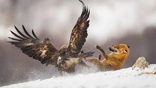 ПТИЦЫ В ДЕЛЕ! Орёл против лисы, Сова против волка, Ястреб против собаки, Гусь против быка...