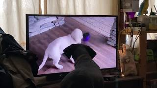 "Oakley Watching  ""🤣 Funniest 🐶 Dogs and 😻 Cats - Awesome Funny Pet Animals' Life Videos 😇""Part 3"