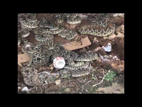 Φωλιά φιδιών κάτω από μια ξύλινη καλύβα