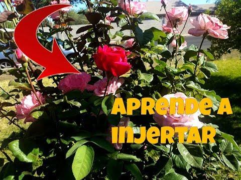 Como Injertar Diferentes Colores de Rosas en Un Solo Rosal