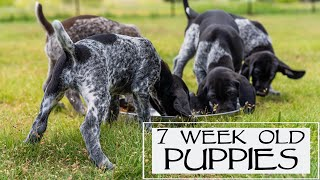 7 Week Old GSP Puppies - Crate Training And Food Change