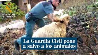La Guardia Civil pone a salvo a los animales de la zona tras la erupción del volcán Cumbre Vieja