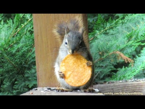 Red Squirrel Loves Spicy Potato Chips - A Documentary