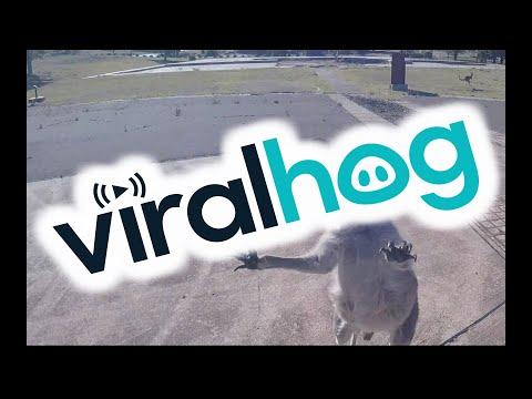 Böses Känguru