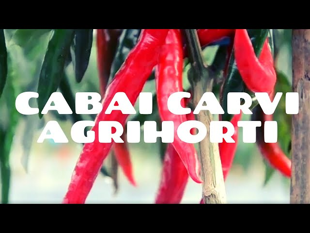 Apa Sih, Kelebihan Cabai Carvi Agrihorti?