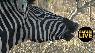 safariLIVE - Sunset Safari - September 27, 2019