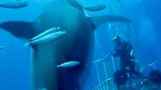 BIGGEST GREAT WHITE SHARK EVER FILMED