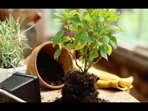 Хитрости при посадке или пересадке комнатных растений