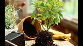 Хитрости при посадке и пересадке комнатных растений видео