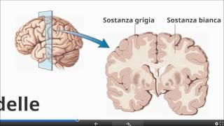 Il Sistema Nervoso Centrale e Periferico