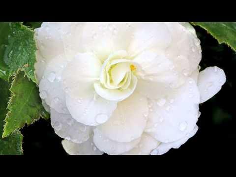 Beautiful flower  begonia  Прекрасный цветок  бегония