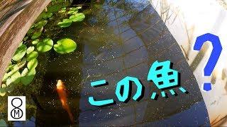 メダカを飼育している屋外水槽で、あれ、この魚は?