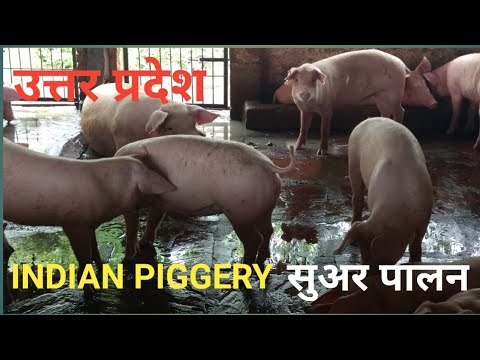 Farm Pig - Wholesale Price for Farm Pig in India