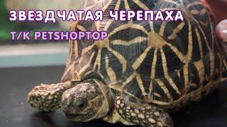 Сухопутная звёздчатая черепаха - содержание и уход, террариум