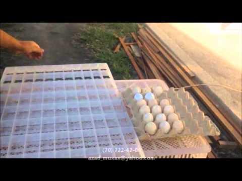 1000 yumurtalıq inkubtor